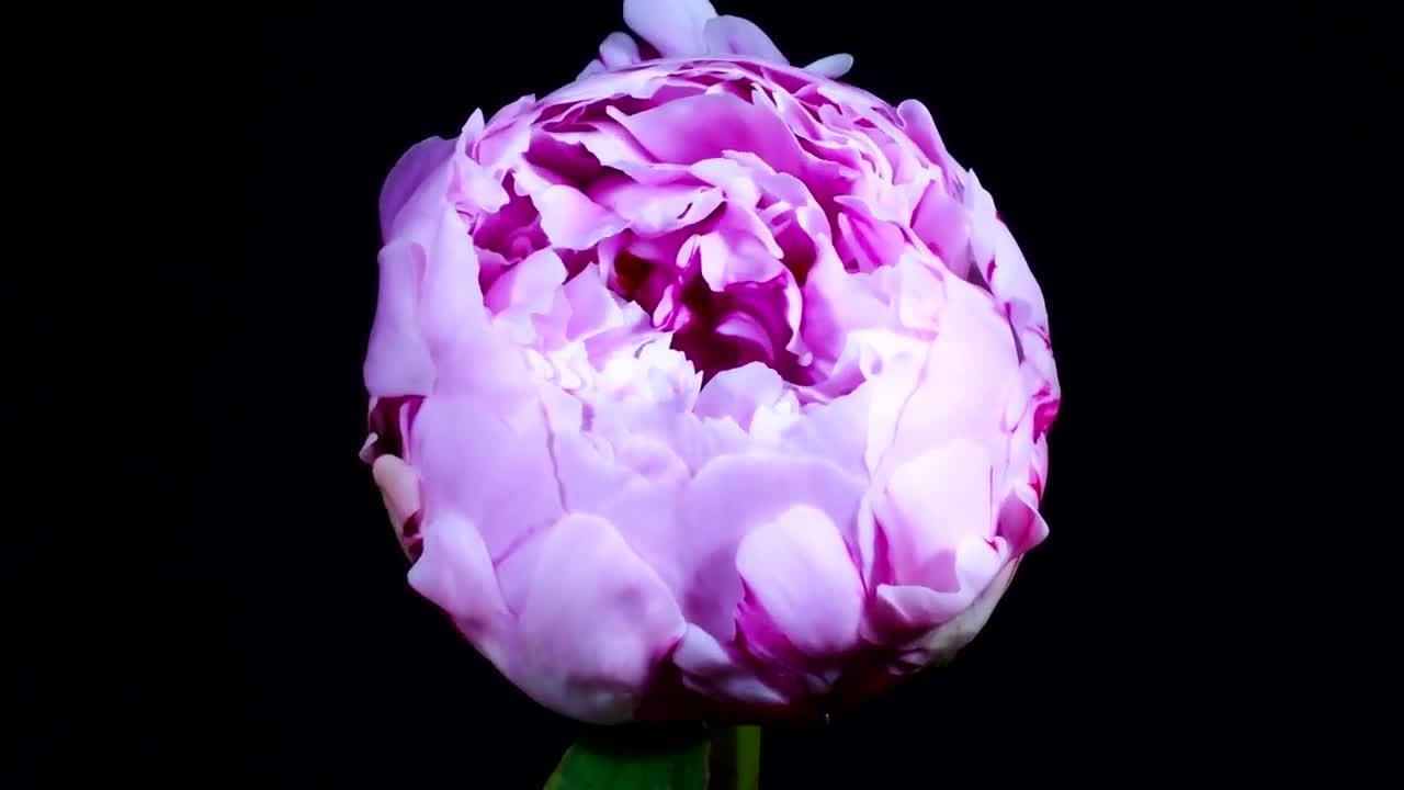 Поздравления, розовые пионы гифы